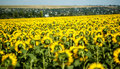 A field of sunflowers, in eastern Europe Stock Photo