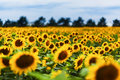 Field of sunflowers endless yellow Stock Images
