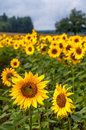 Field of sunflowers Royalty Free Stock Photo