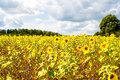 Field of sunflowers Helianthus annuus in the Lueneburg Royalty Free Stock Photo