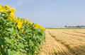 Field of sunflowers in the morning Royalty Free Stock Photo