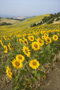 Field of sunflowers and rolling hills. Royalty Free Stock Photo