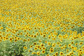 Field of sunflowers sunflower in daylight saving time Royalty Free Stock Photography
