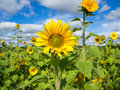 Field of sunflowers on a sunny day Royalty Free Stock Photo