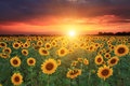Field of sunflowers on the sunset Royalty Free Stock Image