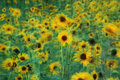 Field of Sunflowers Swaying in Summer Breeze Royalty Free Stock Images