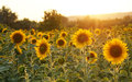 Field of sunflowers in Tuscany. Royalty Free Stock Photo