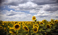 Field of sunflowers under a blue sky in the clouds. Royalty Free Stock Photo
