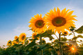 Field of sunflowers under sunset sky Royalty Free Stock Photo