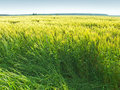 Field sunlit summery unripe rye Royalty Free Stock Photo
