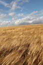 Field sways in the wind in southern sweden a windy Royalty Free Stock Photography