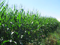 Field of Sweetcorn Royalty Free Stock Photo