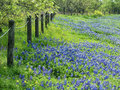 Field of texas bluebonnets and yellow wildflowers blooming along a fence in the spring meadow Stock Image