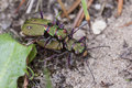 Field Tiger Beetle - mating Royalty Free Stock Photo