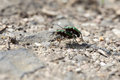 Field Tiger Beetle - mating - macro Royalty Free Stock Photo