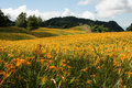 Field of tiger lily Royalty Free Stock Photo