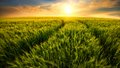 Field trails leading to the setting sun beautiful warm colors of nature in a scenic sunset landscape with on a barley Royalty Free Stock Photo