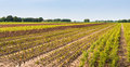 Field of a tree nursery with small yearling colorful rows plants beside tire tracks in Royalty Free Stock Image