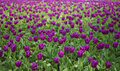 Field of tulip Royalty Free Stock Photos