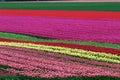 Field of tulips Stock Photo