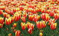 Field of tulips Royalty Free Stock Photo