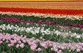 Flowerfields in rainbow colors, flowerculture in Dutch Noordoostpolder,Netherlands Royalty Free Stock Photo