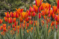 Field of tulips in spring rows bright orange and red on a day with a background evergreen trees Stock Photos