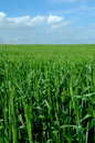 Field unripe wheat Royalty Free Stock Photography