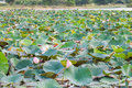 Field water lilies river landscape with a Royalty Free Stock Photography