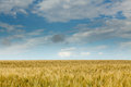 Field of wheat Royalty Free Stock Photography