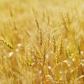 Field of wheat. Stock Photo