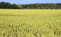 Field of wheat beautiful not yet ripe in the springtime Royalty Free Stock Photo