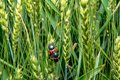 Field with wheat and cockchafer May bug or doodlebug Royalty Free Stock Photo