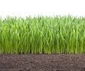 Field wheat grass soil a of young green with a white background and a dirt base Royalty Free Stock Photo
