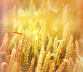 Field of wheat in the late afternoon rays setting sun on Royalty Free Stock Photography