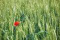 Field of wheat with a lone poppy Royalty Free Stock Photo