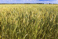 Field of wheat under azure sky Royalty Free Stock Photo