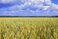 Field of wheat under azure sky Stock Photography