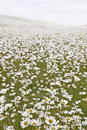 Field of White Daisies Royalty Free Stock Photography