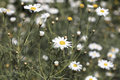 Field of white daisies at the coast in San Diego, California Royalty Free Stock Photo