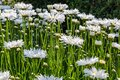 Flowers from Wanaka New Zealand; A field of white daisies. Royalty Free Stock Photo