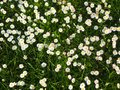Field of white daisies, natural background Royalty Free Stock Photo