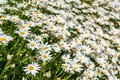 Field of white daisy flowers 1 Royalty Free Stock Photo