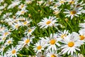 Field of white daisy flowers 4 Royalty Free Stock Photo
