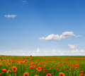 The field of wild poppies spring in spring Royalty Free Stock Photography