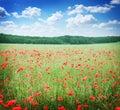 Field of wild poppy flowers. Royalty Free Stock Photo