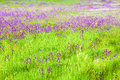 Field with wild purple flowers background of and green grass Stock Photography