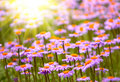 Field of wild violet flowers Royalty Free Stock Photo