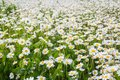 A field of wild white blooming daisies, summer countryside background
