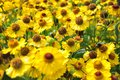 Field of yellow daisy flowers in summer Royalty Free Stock Photo